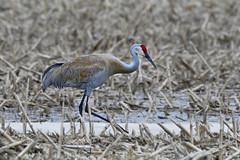 Grue du Canada ----------- Sandhill crane ----------- Grulla canadiense (Jacques Sauvé) Tags: grue du canada sandhill crane grulla canadiense elles sont arrivées nous annoncé le printemps bird ave oiseau nikon d500 200500 14x