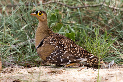 Double Banded Sandgrouse, Jones-se-dam, Kruger National Park, Jan 2019 (roelofvdb) Tags: 2019 347 date doublebandedsandgrouse january knp moth mothsofsafrica place sandgrouse sandgrousedoublebanded southernafricanbirds tsh tshokwane year