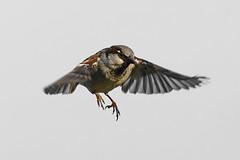 Moineau _DSC1754_DxO (jackez2010) Tags: a77mk2 a77m2 ilca77m2 sal70400g2 bif birdinflight moineau
