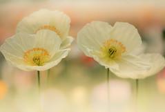 poppy (Tomo M) Tags: poppy flower dreamy pastel light bokeh macro yellow spirng