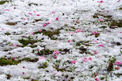 Ume blossoms on the snow (Tom Hanawa) Tags: snow japanese apricot