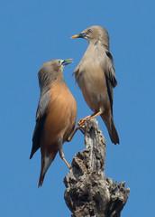 Chestnut-tailed Starlings (vischerferry) Tags: chestnuttailedstarling starling bird songbird india bandhavgarh sturniamalabarica