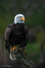 BaldEagle3 (Borreltje.com) Tags: topvogel birdofprey roofvogel roofvogels vogel bird birds wildlife prey workshop fotoshoot birdsinflight