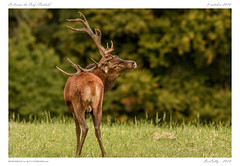 Le brame (BerColly) Tags: france auvergne cantal cerf stag brame automne autumn portrait bercolly google flickr