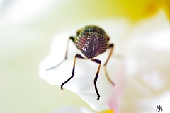 Striped-eye fly on rose. (SuzieAndJim) Tags: nikond5200 nikon macro closeup colors color colour naturephotography nature rose fly eyes stripes stripedeyes flowerfly suzieandjim