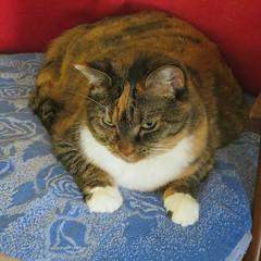 Gracie 8 November 2018 1462Ri sq (edgarandron - Busy!) Tags: gracie patchedtabby cat cats kitty kitties tabby tabbies cute feline