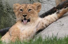 asiatic lion Blijdorp 094A0756 (j.a.kok) Tags: leeuw lion animal azie aziatischeleeuw asia asiaticlion mammal zoogdier dier predator pantheraleopersica blijdorp lioncub welp leeuwenwelp cub asianlioncub