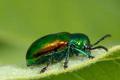 Dogbane Beetle - Chrysochus auratus (mattbpics) Tags: dogbanebeetle chrysochusauratus beetle coleoptera osbornedale derby connecticut canon 70d 100 100mm ef100mmf28lmacroisusm