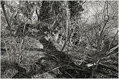 im korkus 281 (beauty of all things) Tags: eschweiler wald forest imkorkus wirrwarr tangle entropy dschungel jungle bw sw gestrypp gestrüpp scrub