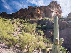 Lower Peak (RoamingTogether) Tags: angiosperms arizona cactaceae cactus carnegieagigantea caryophyllales catmountain eudicotidae eudicots eudicotyledons floweringplants hiking panasonic panasonic1442powerois panasoniclumixdmcgf3 saguaro saguarocactus tucson tucsonmountainpark