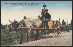 c. 1935 Postcard - Oxcart used on the Gaspé Coast, Quebec (Treasures from the Past) Tags: postcard canada quebec oxcart gaspecoast 1935