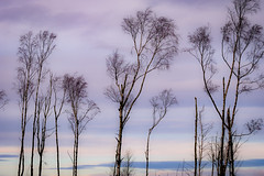 Pastel sunrise (tonguedevil) Tags: landscape outdoor outside view countryside winter nature woodland forest trees morning birch sky cloud sunrise pastel colours sunlight shadows light