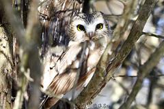 Saw Whet Owl (Swift Wings) Tags: owl birdofprey sawwhetowl raptor wildlife nature aegoliusacadicus