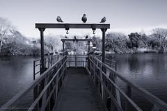 Gulls on a Dock (John Galvin) Tags: fuji fujifilm xpro2 fujinonxf23mmffrwr dock birds water seagull gull