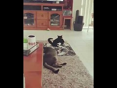 When Your Friend Drunk be like (tipiboogor1984) Tags: aww cute cat funny dog youtube