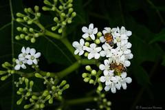 Honet bee nectaring on white flowers (N3ptun0) Tags: animal animals anthophila apidae apismellifera apocrita apoidea arthropod bee flower fruitandspicepark honeybee hymenoptera insect insecta nature park plant plantae bloom invertebrate