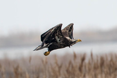 7K8A1047 (rpealit) Tags: scenery wildlife nature edwin b forsythe national refuge brigantine immature bald eagle bird