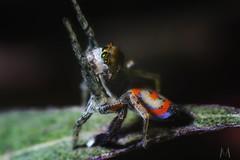 Maratus pavonis (SuzieAndJim) Tags: nature australian spider jumping peacock peacockjumpingspider jumpingspider maratuspavonis pavonis maratus suzieandjim