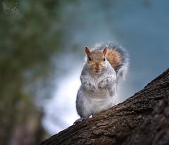 Grigio (Eros Penatti) Tags: sciuruscarolinensis scoiattolo scoiattologrigio lombardia italia monza parcodimonza