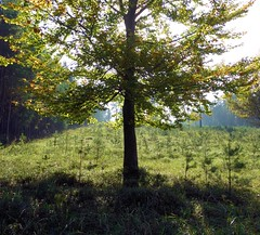 Young beech in an autumn robe (Jacek Magryta) Tags: jacek poland borydolnoslaskie polska landscape lowersilesia light tree forest autumn sun zielonka zgorzeleccounty zielonkavillage green nature colours beech soe 11