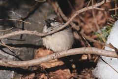 Varpunen (TheSaOk) Tags: varpunen sparrow korkeasaari zoo birdlife bird lintukuva linnut kevät spring
