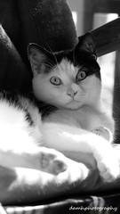 Barnaby (damhphotography) Tags: blackandwhite cat pose