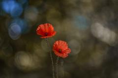 Papaver rhoeas (Torok_Bea) Tags: pipacs summer flowers flower beautiful bokeh nikon nikond7200 natur nature nikond nationalpark papaverrhoeas m42 manual