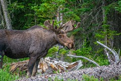 Old Bull Moose (Matt Kemps) Tags: bull moose colorado poudre wilderness nature animals wildlife trophy mountains forest