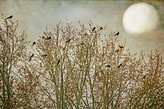 starling, darling (1crzqbn) Tags: sliderssunday birds starlings moon textures inmygarden 1crzqbn