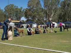Cohuna dog show (15) (Boobook48) Tags: australia dogshow cohuna victoria