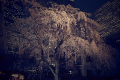 ji Temple Sakura blossoms 09 (HAMACHI!) Tags: tokyo 2019 japan ricoh ricohimaging ricohgr ricohgriii ricohgr3 gr3 griii gr weepingcherry 常圓寺 joenjitemple sakura cherryblossoms cherryblossom cherry night nightscene nightscape nightview lightup flower