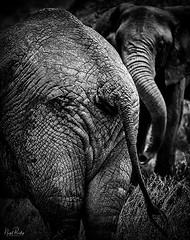AFRICAN ELEPHANT 5 (Nigel Bewley) Tags: tanzania africa wildlife nature wildlifephotography nigelbewley photologo appicoftheweek africanelephant loxodontaafricana seronera serengetinationalpark march march2019 safari gamedrive blackandwhite creativephotography