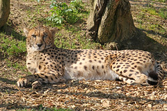 Cheetah (Buggers1962) Tags: cheetah bigcat colchesterzoo nature canon