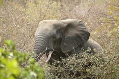 Savanna elephant, Mole National Park, Ghana (inyathi) Tags: westafrica ghana africananimals africanelephants savannaelephant loxodontaafricana molenationalpark elephant nationalpark safari africa
