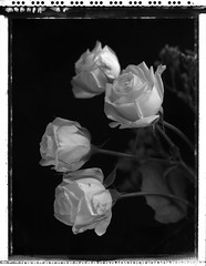 roses blanches - avril 2019 (JJ_REY) Tags: roses blanches white spring printemps instantfilm blackwhite polaroid peelapart pn55 largeformat 4x5 toyofield 45a rodenstock sironarn150mmf56 negative silverfast8aistudio colmar alsace france