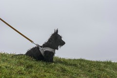Quintessential Silhouette (d0mokun) Tags: hilde scottishterrier welshsummer damp dog pet portrait puppy raining scottie soggy wet winter llanelli wales unitedkingdom gb