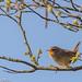 Wren singing (Troglodytes troglodytes)
