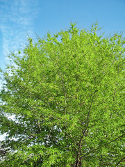 Blue Sky, Green Leaves. (dccradio) Tags: lumberton nc northcarolina robesoncounty outdoor outdoors outside nature natural park citypark raymondbpenningtonathleticcomplex penningtonathleticcomplex northeastpark april weekend saturday saturdaynight saturdayevening evening goodevening spring springtime hp hewlettpackard hpdsccb350 tree trees treebranch branch branches treebranches treelimb treelimbs sky eveningsky