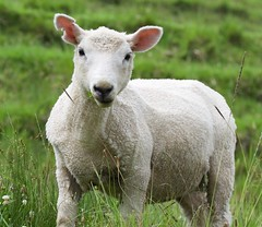 ...sheared sheep are still cute (Allyndon) Tags: grass auckland sheep fauna nikon newzealand newzealandfauna newzealand2018