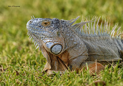 Large Iguana male (Mike_FL) Tags: large iguana male nikon nikond7500 tamron100400mmf4563divcusda035 outdor snakewarriorsisland floridawildlife florida nature image photograph