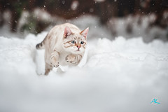 Fast Snow Run (Andreas Krappweis - thanks for 3 million views!) Tags: bengal snow white running fast furious winter bengals mink bengalcat purebreed outdoor domesticcat playing action jump snowflakes flashbengals nikond3 afsvrnikkor70200mm128g