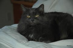 The Stare- (adamsshawn390) Tags: grey misty animal feline