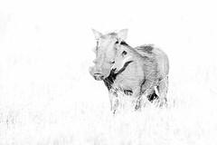 Warthog (Thomas Retterath) Tags: mapula afrika africa botswana okavangodelta 2018 safari nopeople natur nature wildlife warthog warzenschwein suidae pflanzenfresser herbivore säugetier mammals animals tiere phacochoerusafricanus