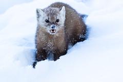 Pine Marten (dwb838) Tags: winter pinemarten snow