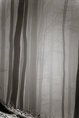 20190202-038 (sulamith.sallmann) Tags: landschaft pflanzen wetter baum botanik brandenburg buche buchenwaldgrumsin bäume deutschland europa laubbaum natur nebel nebelig pflanze uckermark wald weltnaturerbe winter winterlich sulamithsallmann