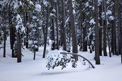 Heavy load (BDFri2012) Tags: forest trees tree snow mammothlakes mammoth easternsierra sierranevadamountains highsierra highsierras us395 winter