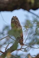Short-eared Owl (harshithjv) Tags: bird birding largebird nocturnal raptor shortearedowl commonmarshowl marshowl owl asio flammeus strigiformes strigidae aves avian canon 80d tamron bigron g2
