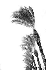 Palm Trees & Wind in Pat Junction-2 (zeevveez) Tags: זאבברקן zeevveez zeevbarkan canon bw fence car frame tv antenna tree palm wind