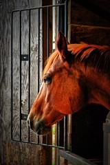 Cidney (BDM17) Tags: cidney paint horse sorrel chestnut equine equus stall window barn farm mane