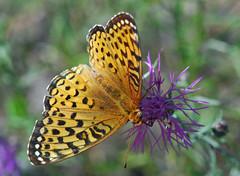 Atlantis Fritillary (Laurie Paulik) Tags: atlantisfritillaries butterflies fritillaries vilascounty wisconsin